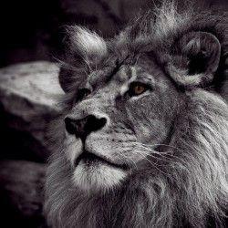 leon,-blanco-y-negro-226275
